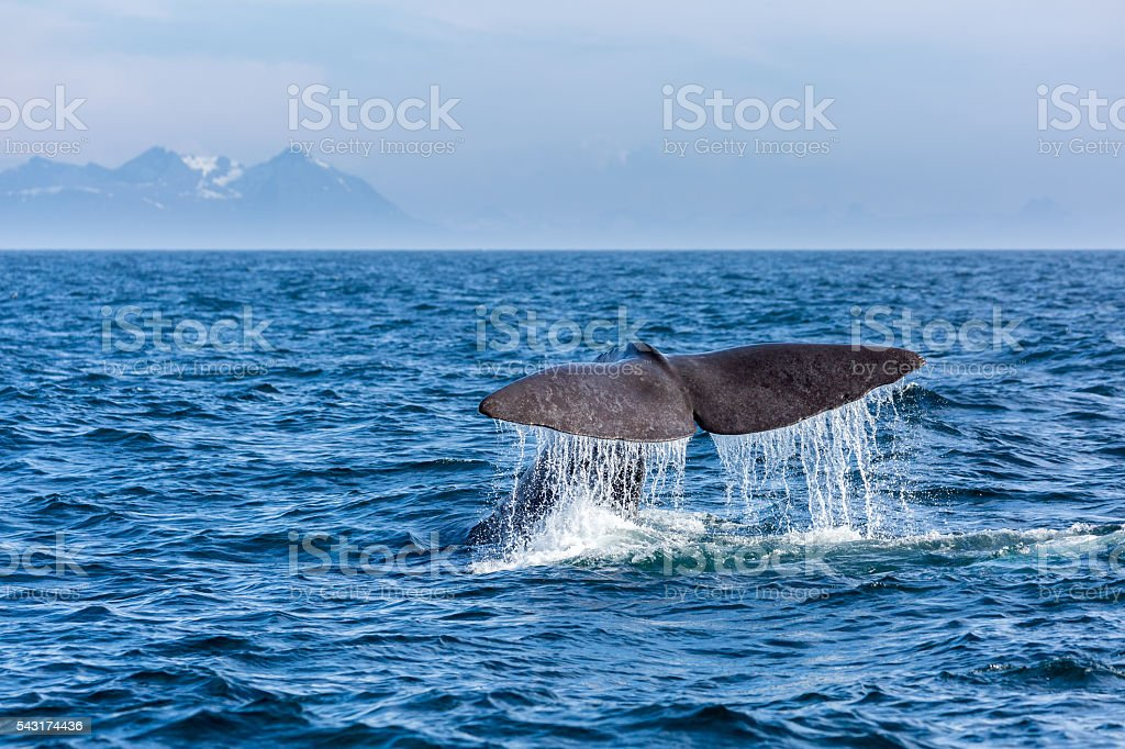 The sperm whale tail with water spray in the ocean stock photo