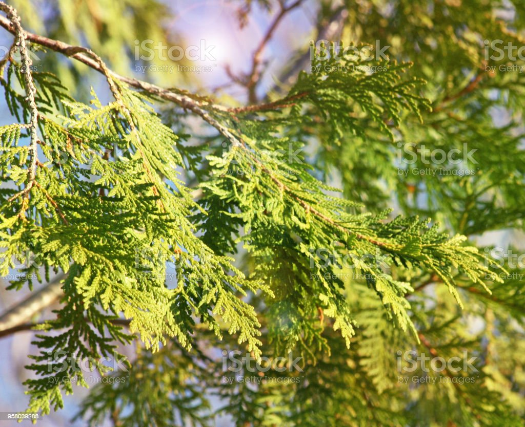 The spindly branches and leaves of a Cedar Tree with illuminating...