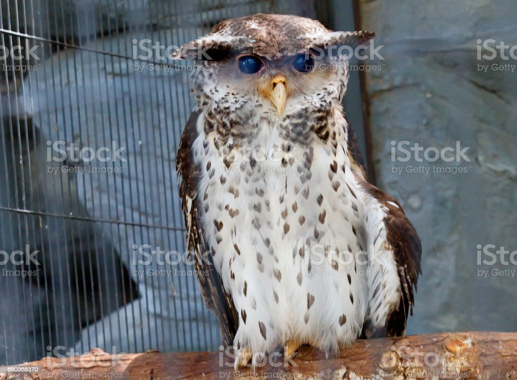 The spotted owl and Malaysian owl or owl of Sumatra royalty-free stock photo