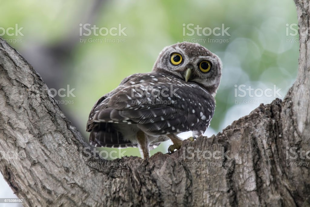 The spotted owlet is a small owl which breeds in tropical Asia from mainland India to Southeast Asia. A common resident of open habitats including farmland and human habitation, it has adapted to living in cities. photo libre de droits