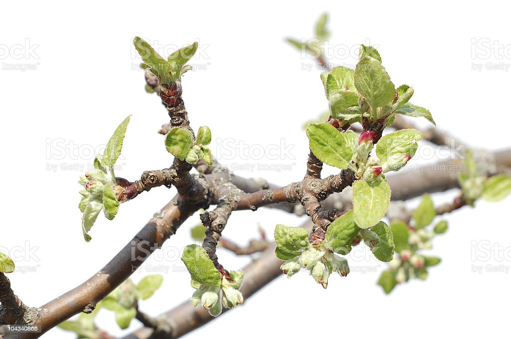 The spring blossoms. royalty-free stock photo