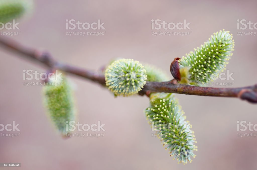 The Spring flowering willow. Сatkins of pussy-willow stock photo