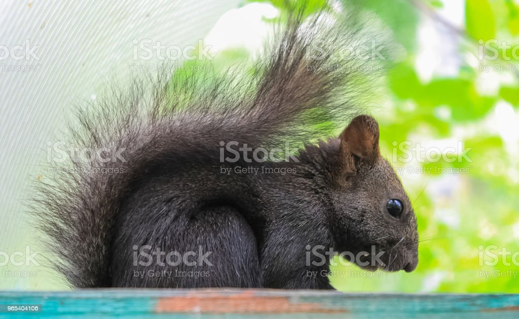 The squirrel feeds on nuts in a trough suspended on a tree zbiór zdjęć royalty-free