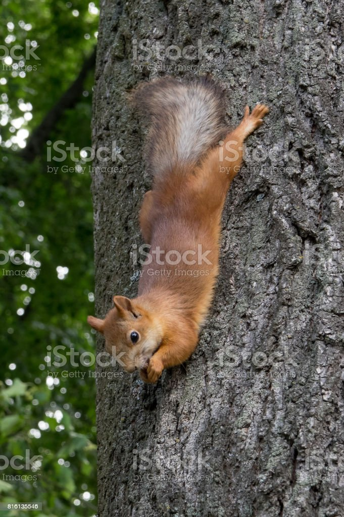 The squirrel on the tree eats a nut, stretched out. stock photo