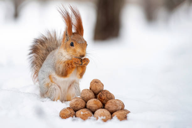 The squirrel stands with nut in paws on the snow in front of a pile of nuts stock photo