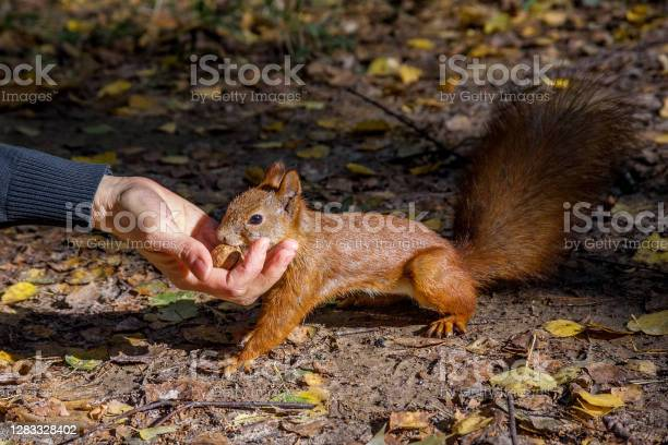 Photo of The squirrel takes a nut from the girl's hand