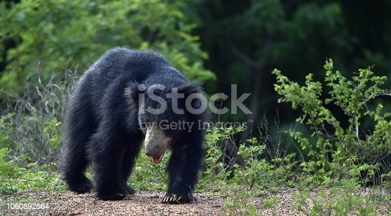 The Sri Lankan sloth bear (Melursus ursinus inornatus) is a subspecies of the sloth bear found mainly in lowland dry forests in the island of Sri Lanka.