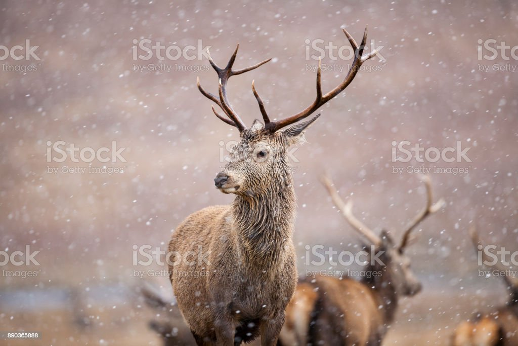 The Stag stock photo
