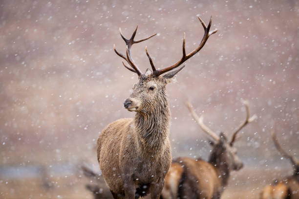 The Stag A Red deer Stag. Taken in Inverness, Scotland red deer animal stock pictures, royalty-free photos & images