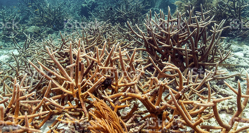 The staghorn coral (Acropora cervicornis) stock photo