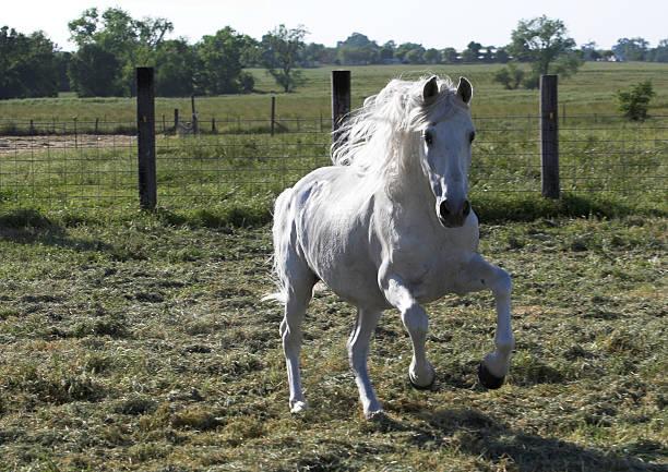 The Stallion stock photo