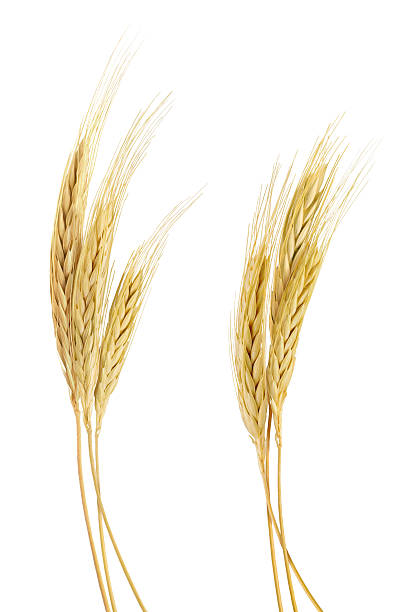 the stand golden barley on white background - barley stock pictures, royalty-free photos & images