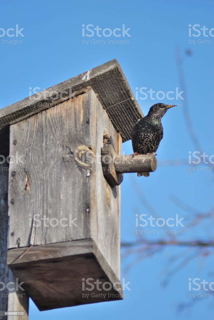 The starling who has occupied a birdhouse waiting for a couple, Omsk, Russia, Siberia стоковое фото