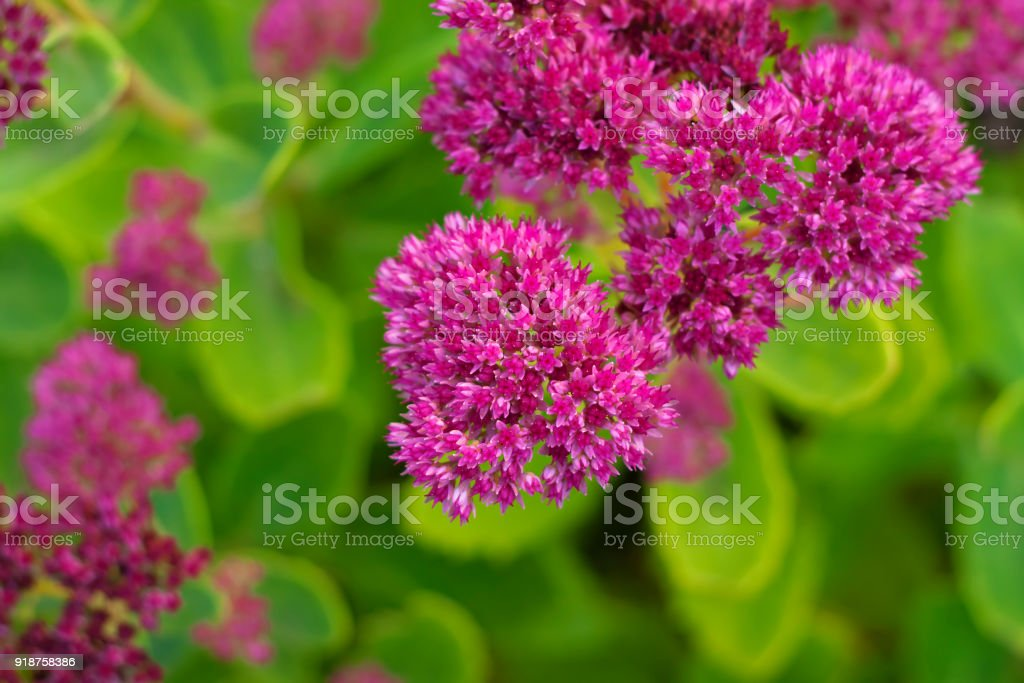The starshaped pink flowers of hylotelephium spectabile closeup the star shaped pink flowers of hylotelephium spectabile formerly called sedum spectabile close mightylinksfo