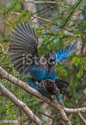 The Steller's Jay (Cyanocitta stelleri) is a jay native to western North America. It is also known as the Long-crested Jay, Mountain Jay, and Pine Jay. It is the only crested jay west of the Rocky Mountains. Courtship and mating. Cordova, Alaska. Chugach National Forest