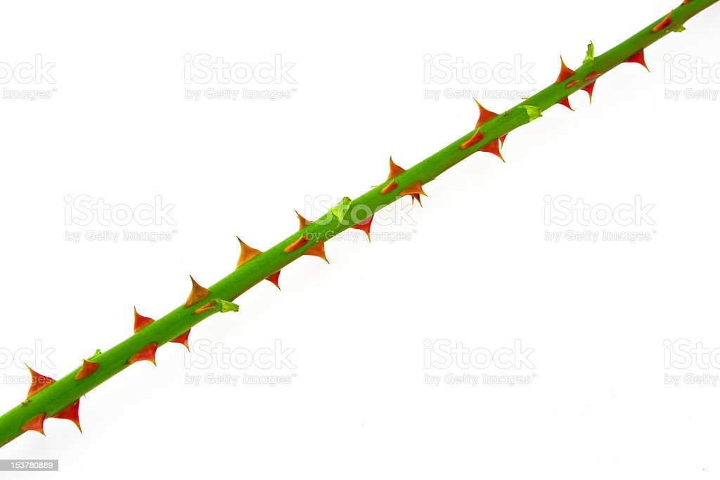 The stem of rose with thorns stock photo