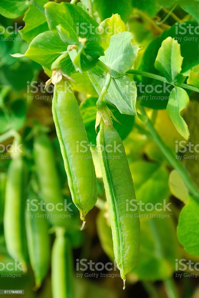 The  stems of peas stock photo