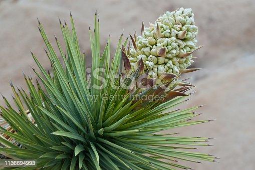 istock Joshua Tree in Bloom 1136694993