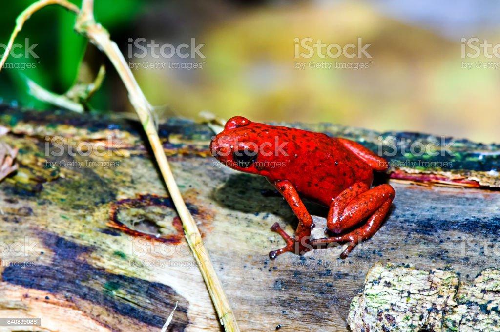 Strawberry poison Frog (Oophaga Pumilio) – Foto