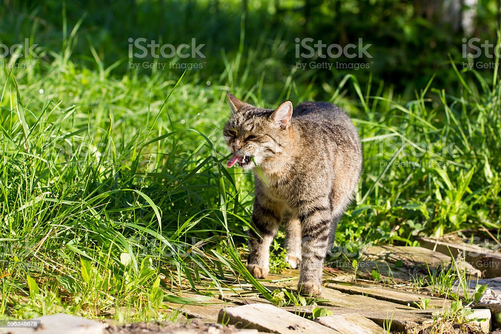 The street cat is a grass royalty-free stock photo