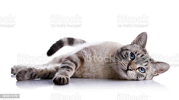 The striped blueeyed cat lies on a white background picture id525573787?b=1&k=6&m=525573787&s=612x612&h=nvw7me2xgokhjns5xvzs8d1r8kt4giu7lkj5rwxzwfm=