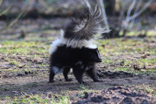 the striped skunk (mephitis mephitis) - skunk stock photos and pictures