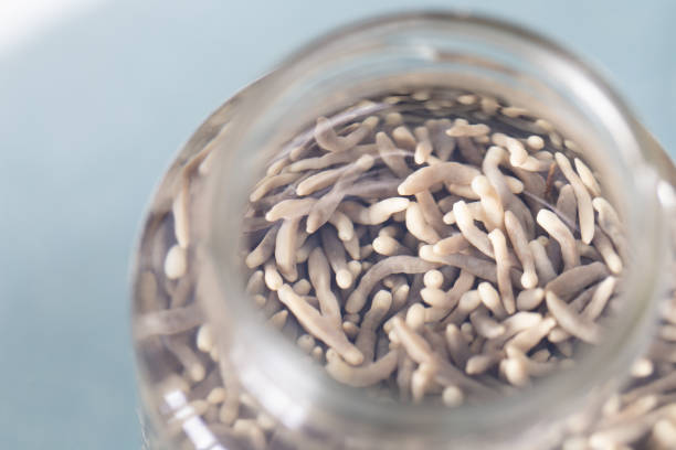 The study parasite or  worms is a freshwater fish parasite in laboratory for education. The study parasite or  worms is a freshwater fish parasite in laboratory for education. proglottid stock pictures, royalty-free photos & images