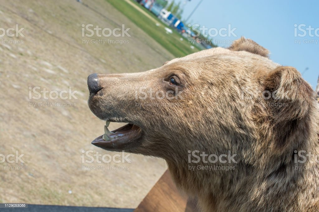 Head of a stuffed big brown bear as wild animal