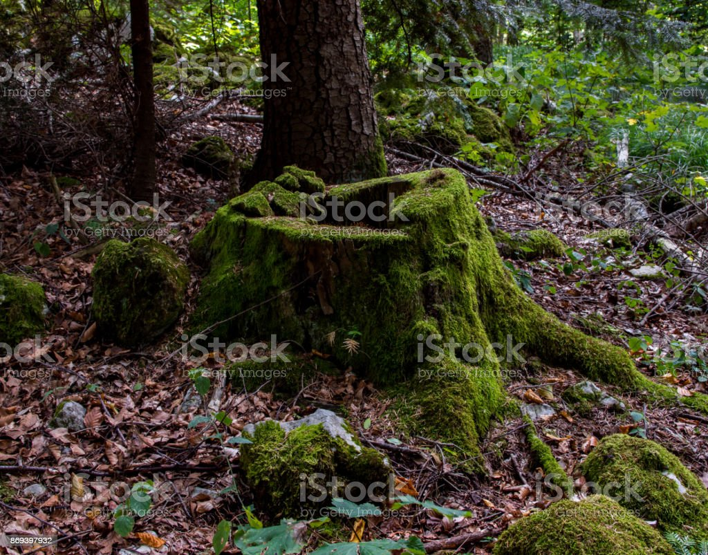 The stump in forest is completely covered with green moss stock photo