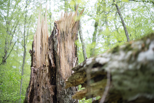 The stump of a rotten old beech tree felled by the wind. Selective focus