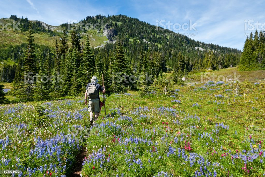Senior Man Hiking in a Meadow of Lupine stock photo