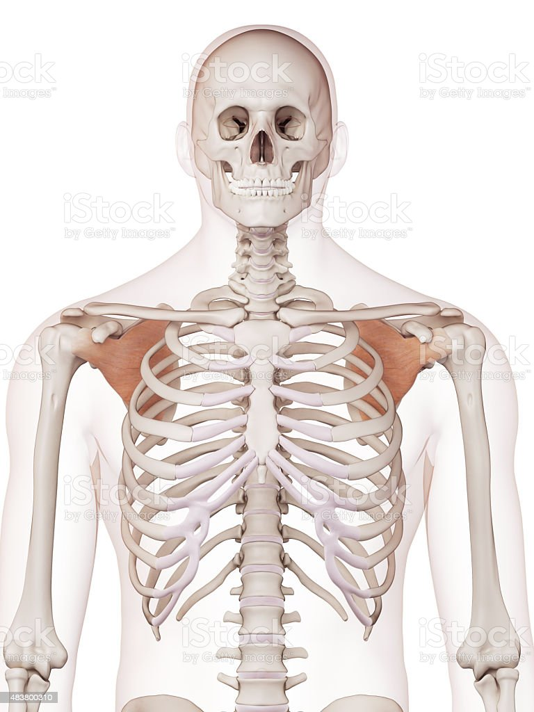 the subscapularis stock photo