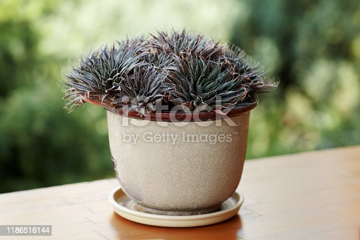 The succulent plant in the pot on the wooden bar, latin haworthia attenuata. Outdoors, copy space.