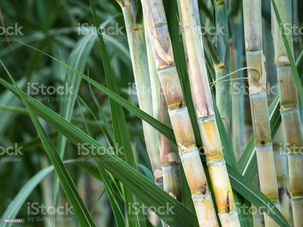 The Sugar cane. zbiór zdjęć royalty-free