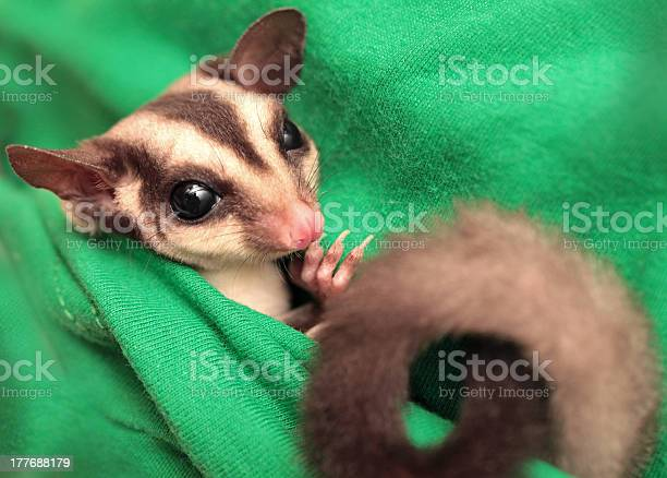 The Sugar Glider On Green Fabric Stock Photo - Download Image Now