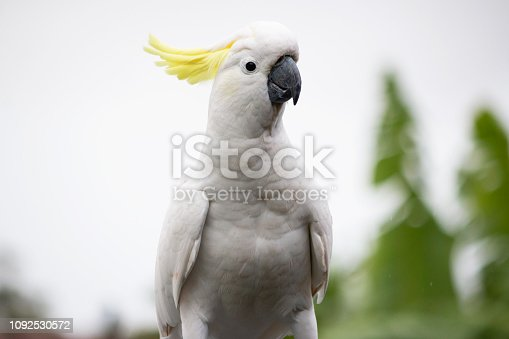 The Sulphur-crested Cockatoo  portrait single Australian animal bird