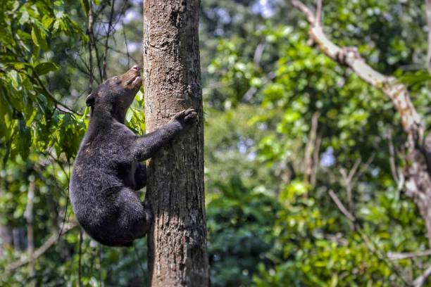 the sun bear the smallest bear in the world, the sun bear native to the rain forests of South east Asia, a very talented tree climber. island of borneo stock pictures, royalty-free photos & images