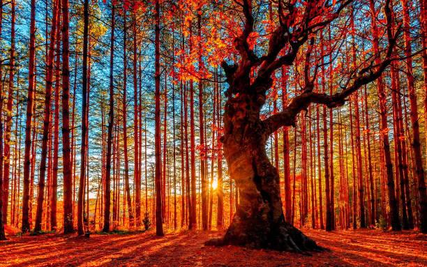 太陽在秋天的森林後面下山 - 大自然 個照片及圖片檔