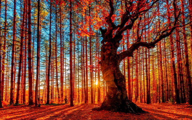 the sun goes down behind the autumn forest - composizione orizzontale foto e immagini stock