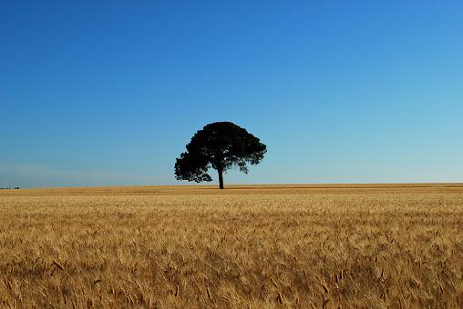 the sun illuminates the wheat field