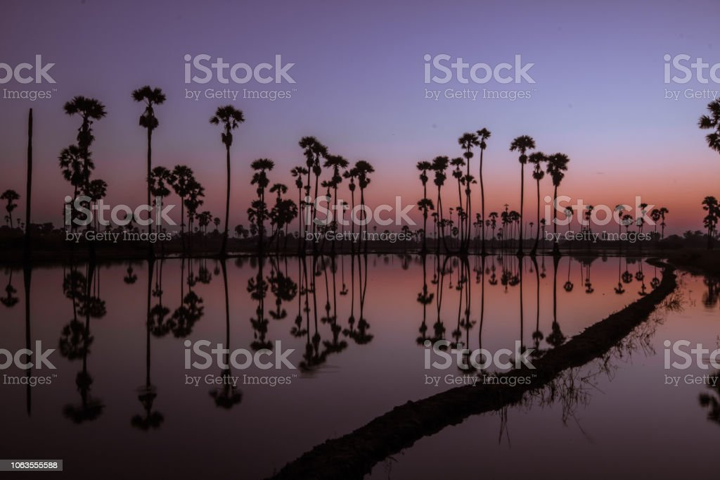 Water reflection of sugar palm While the sun is rising.