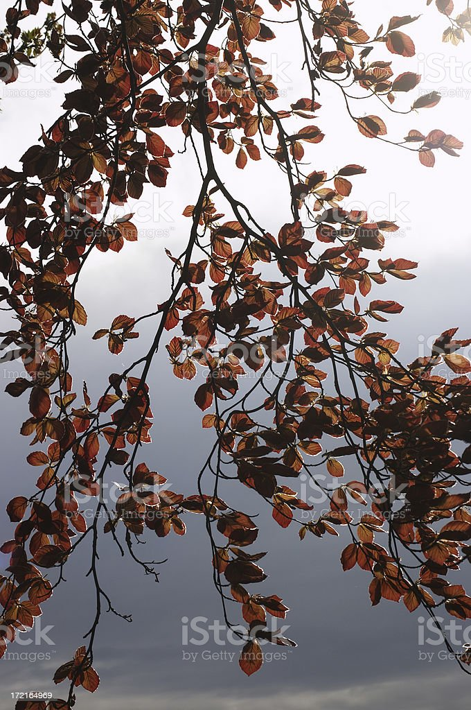 Beech leaves in  late afternoon royalty-free stock photo