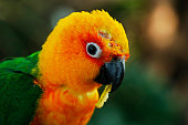 The sun parakeet, also known in aviculture as the sun conure