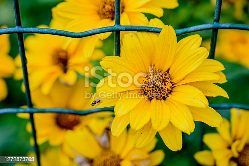 The Sun Rudbeckia flower sprouted through the metal mesh fence.