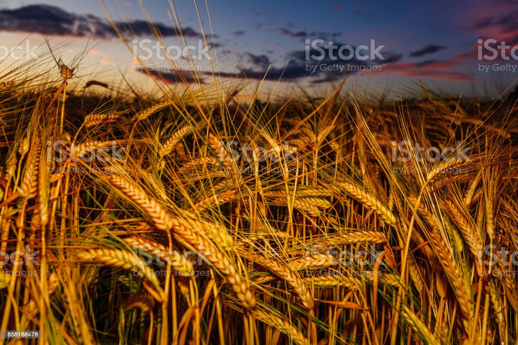 The sun sets and clouds roll by over the barley fields stock photo