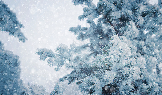 Winter landscape with falling snow, winter forest with snowfall. winter grove. Snowy winter scene,  winter landscape,  forest, snowy nature view. Christmas background.
