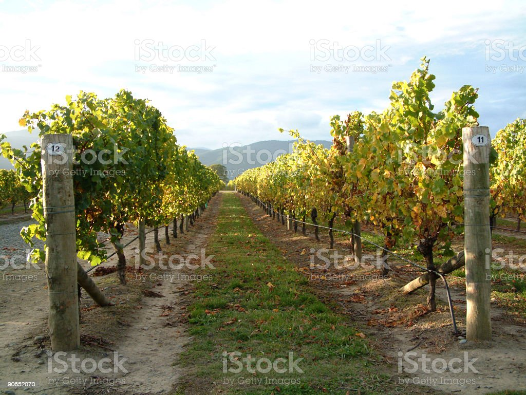 The sun shining on the grapes along a path in a vineyard royalty-free stock photo