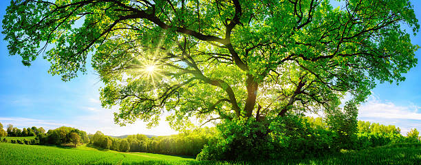 the sun shining through a majestic oak tree - majestueus stockfoto's en -beelden