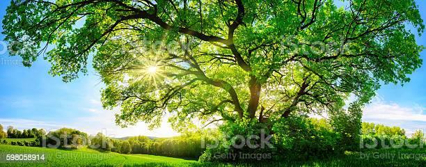 Die Sonne Scheint Durch Eine Majestätische Eiche Stockfoto und mehr Bilder von Ast - Pflanzenbestandteil