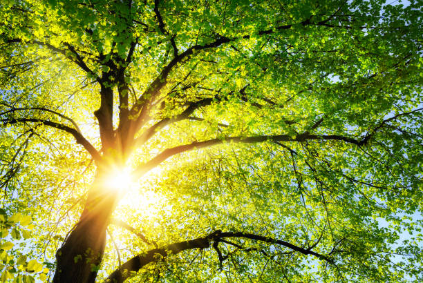 The sun shining through the branches of a tree stock photo